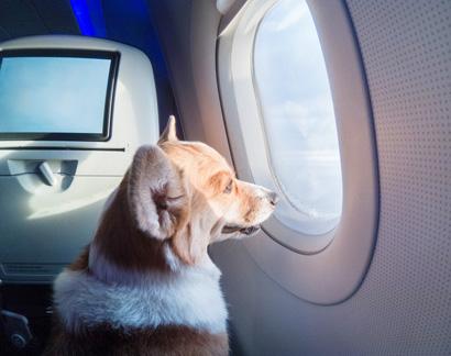 Перевозка собак на самолёте
