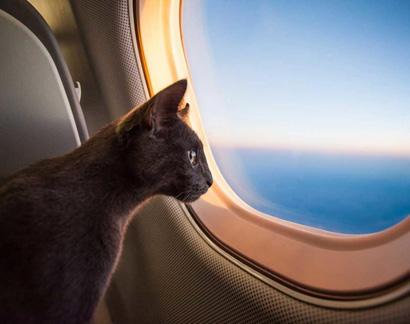 Перевозка кошки на самолёте
